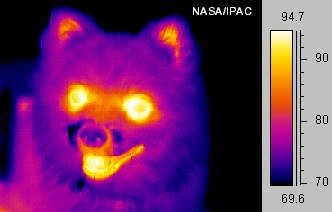 "Image of a small dog taken in mid-infrared (""thermal"") light (false color)"
