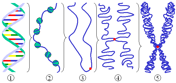Figure 2: Different levels of DNA condensation. (1) Single DNA strand. (2) Chromatin strand (DNA with histones). (3) Chromatin during  with centromere.  (4) Condensed chromatin during . (Two copies of the DNA molecule are now present) (5) Chromosome during .