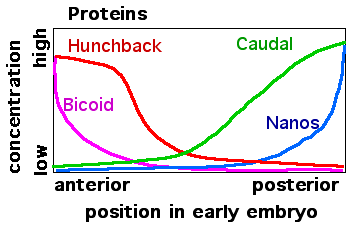 mRNA distributions